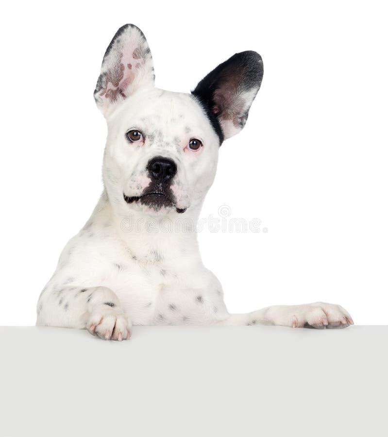 Cane divertente in bianco e nero con le grandi orecchie fotografia stock libera da diritti