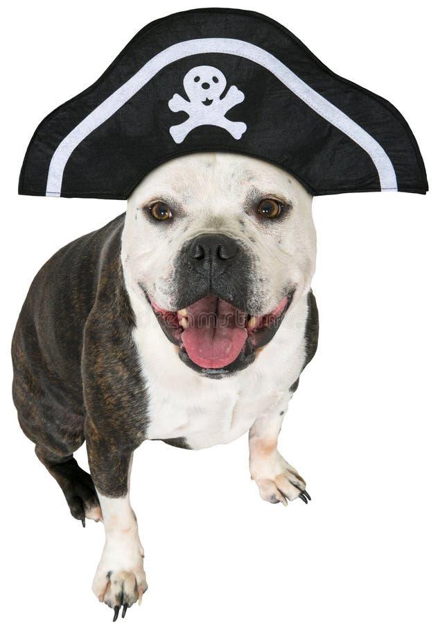 Cane divertente del pirata, bulldog, isolato fotografia stock libera da diritti