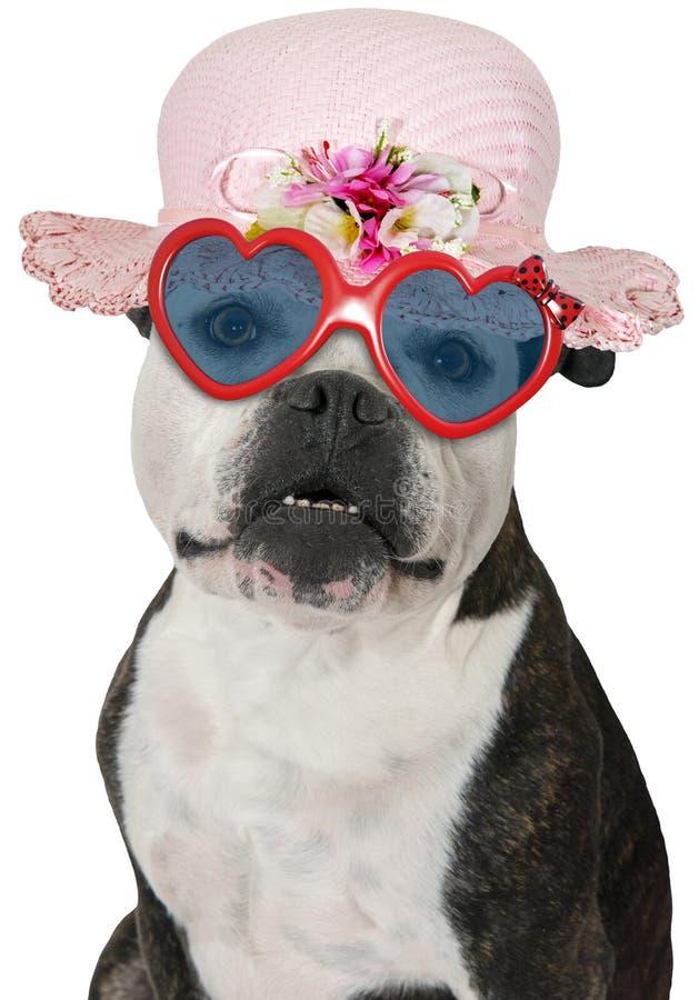 Cane divertente della ragazza, bulldog, isolato fotografie stock libere da diritti