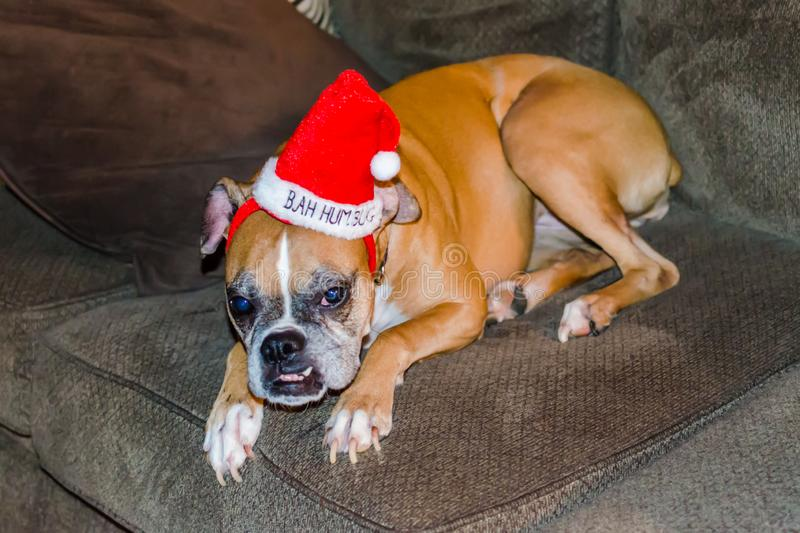 Cane divertente di Natale che porta il cappello rosso della falsità di Bah fotografia stock libera da diritti