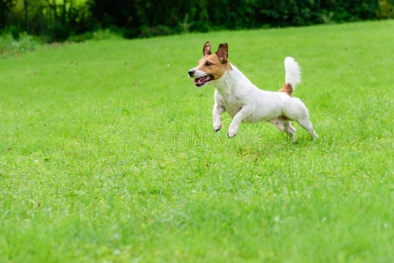 Cane divertente felice del terrier che gioca, corrente e saltante fotografie stock libere da diritti