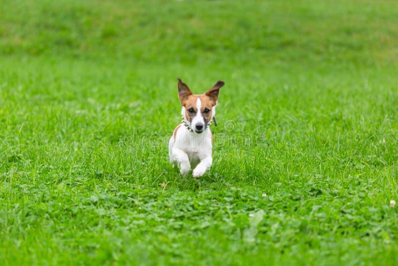 Cane divertente felice di Jack Russell Terrier che gioca, corrente e saltante sull'erba verde del parco fotografia stock