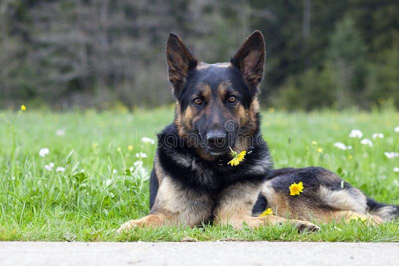 Cane dolce con il fiore fotografia stock