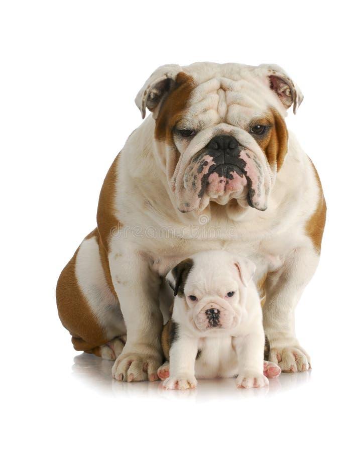 Cane e cucciolo adulti fotografia stock libera da diritti