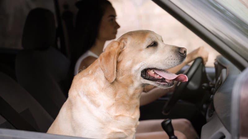 Cane e giovane donna dorati divertenti di labrador retriever in moderno immagini stock