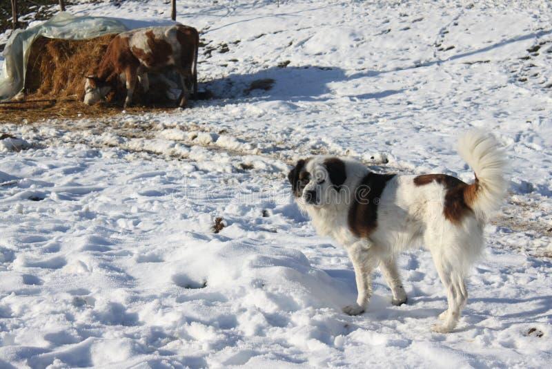 Cane e mucca