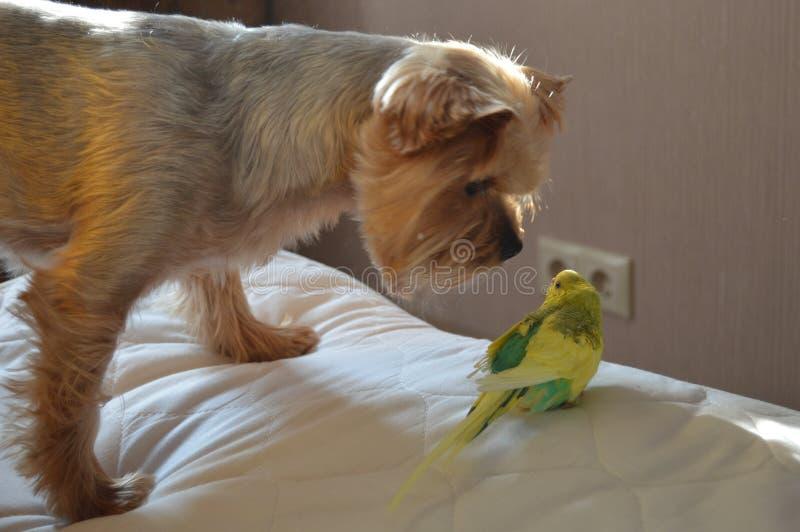 Cane e pappagallo che se esaminano fotografie stock libere da diritti