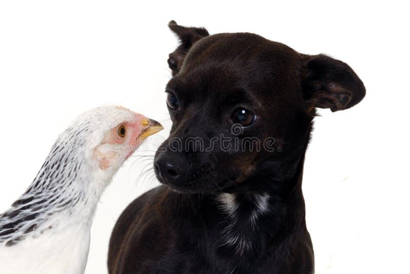 Cane e pollo del cucciolo immagine stock libera da diritti