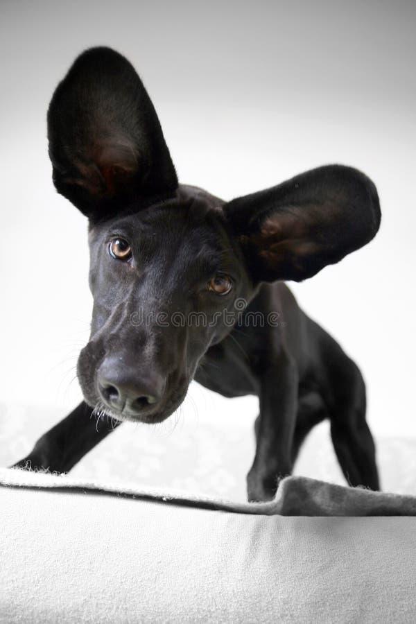 Cane Eared fotografia stock