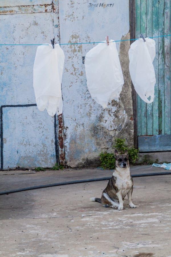 Cane ed asciugare i sacchetti di plastica in Cienfuegos, Cuba I sacchetti di plastica sono utili in Cuba, riutilizzazione di molt fotografia stock
