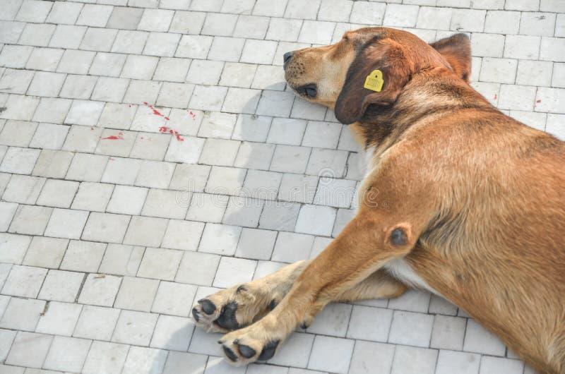 Cane etichettato della via, addormentato sul marciapiede, Skopje, Macedonia immagine stock