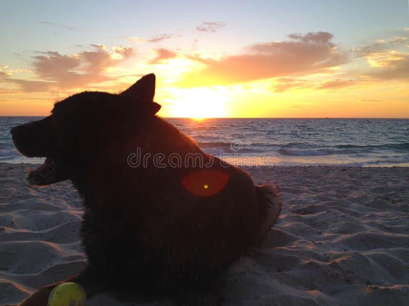 Cane felice alla spiaggia fotografia stock