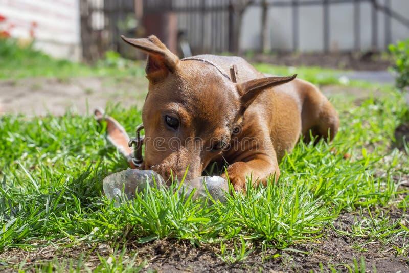 Cane felice che gioca sull'erba verde fotografia stock