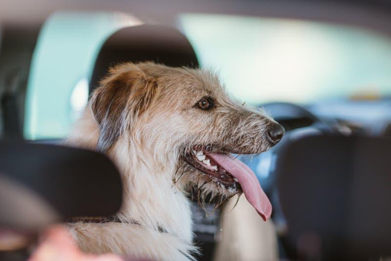 Cane felice che viaggia nello stivale dell'automobile immagini stock