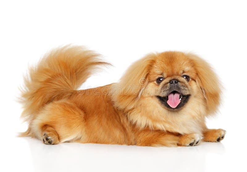 Cane felice di pechinese su fondo bianco fotografia stock