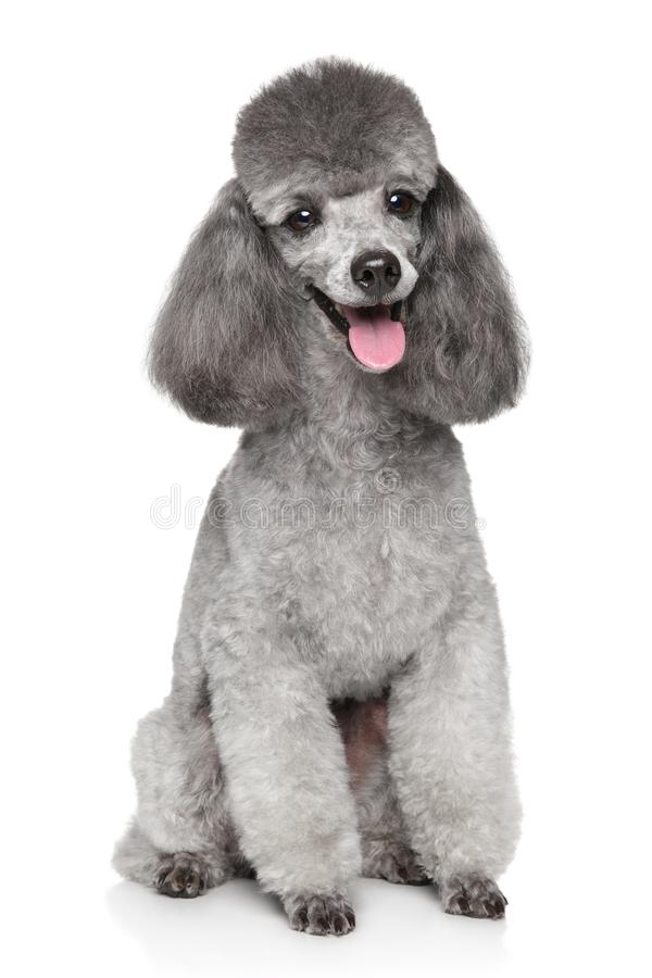 Cane felice di Toy Poodle su fondo bianco fotografia stock