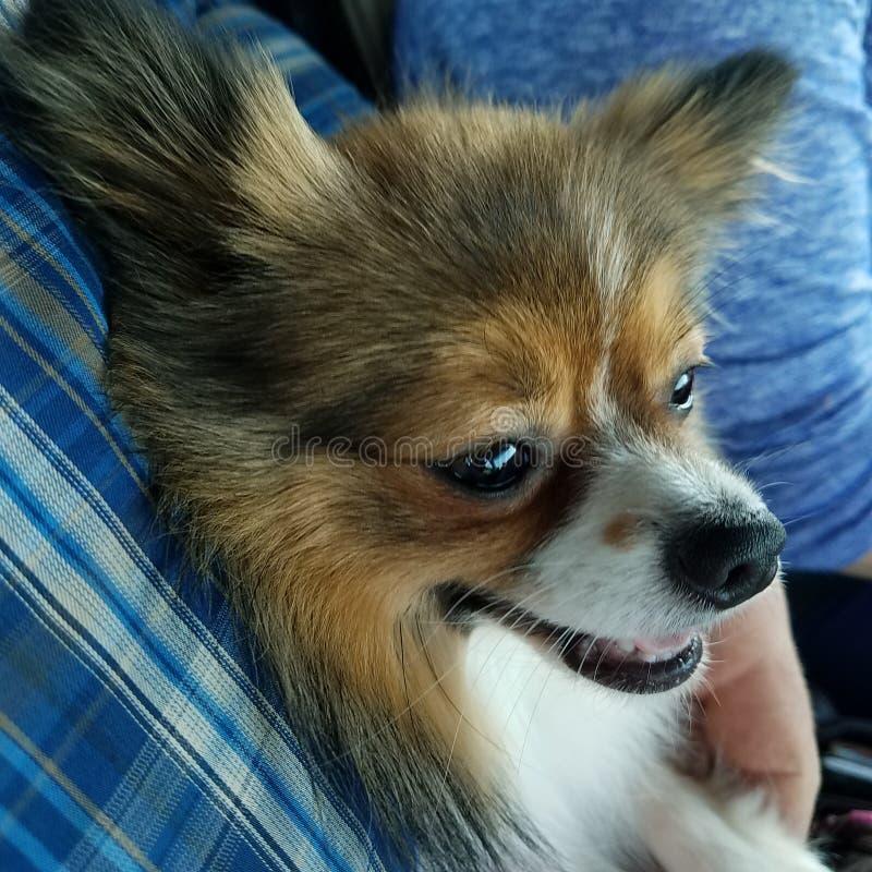 Cane felice pomeranian fotografia stock libera da diritti