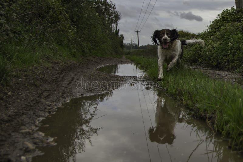 Cane felice in pozza fangosa fotografia stock libera da diritti