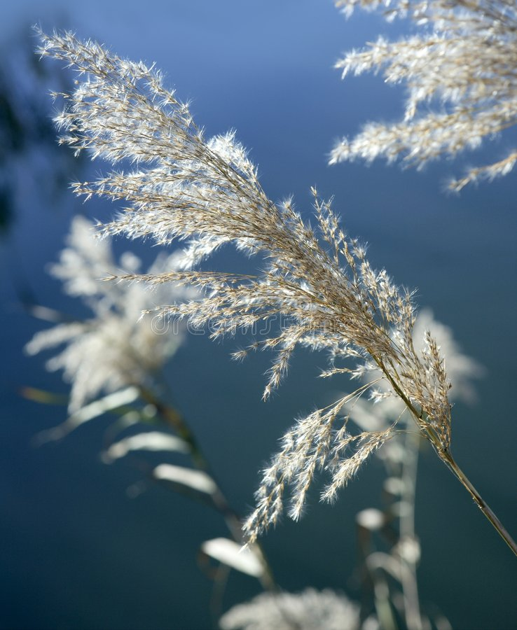Cane flowers on the river, blue sky stock photos