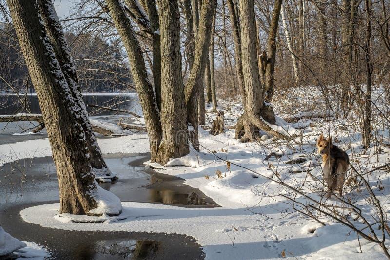 Cane in foresta accanto ad un fiume congelato fotografie stock