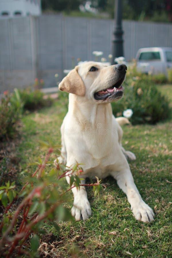 Cane giallo del Labrador fotografia stock libera da diritti