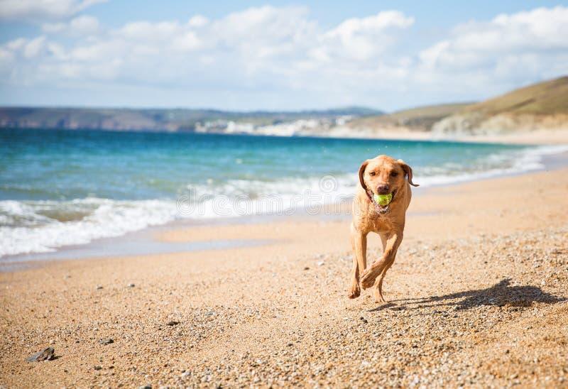 Cane giallo di labrador retriever che gioca ampiezza su una spiaggia sabbiosa immagini stock libere da diritti