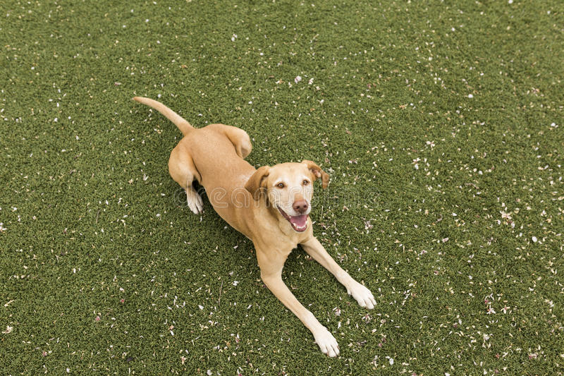 Cane giallo sveglio che sta sull'erba Fondo verde fotografia stock