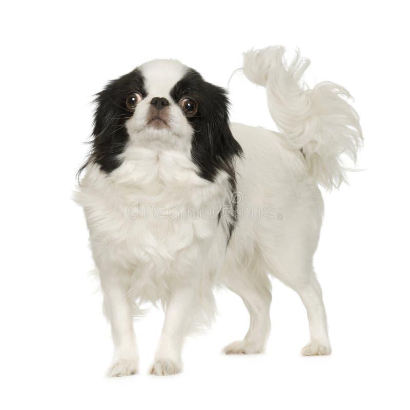 Cane giapponese del mento fotografia stock