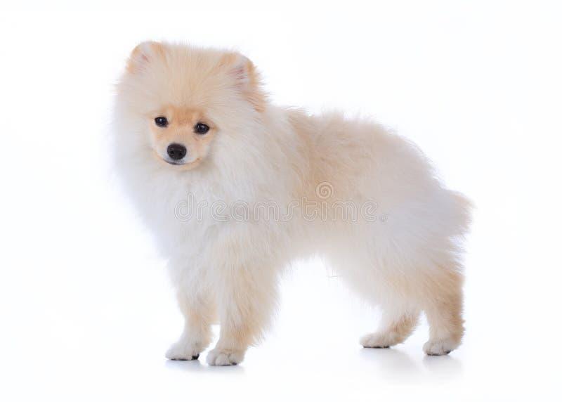 Cane governare di Pomeranian su fondo bianco fotografie stock libere da diritti