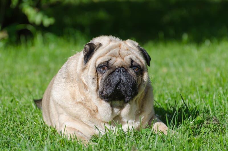 Cane grasso del carlino immagini stock
