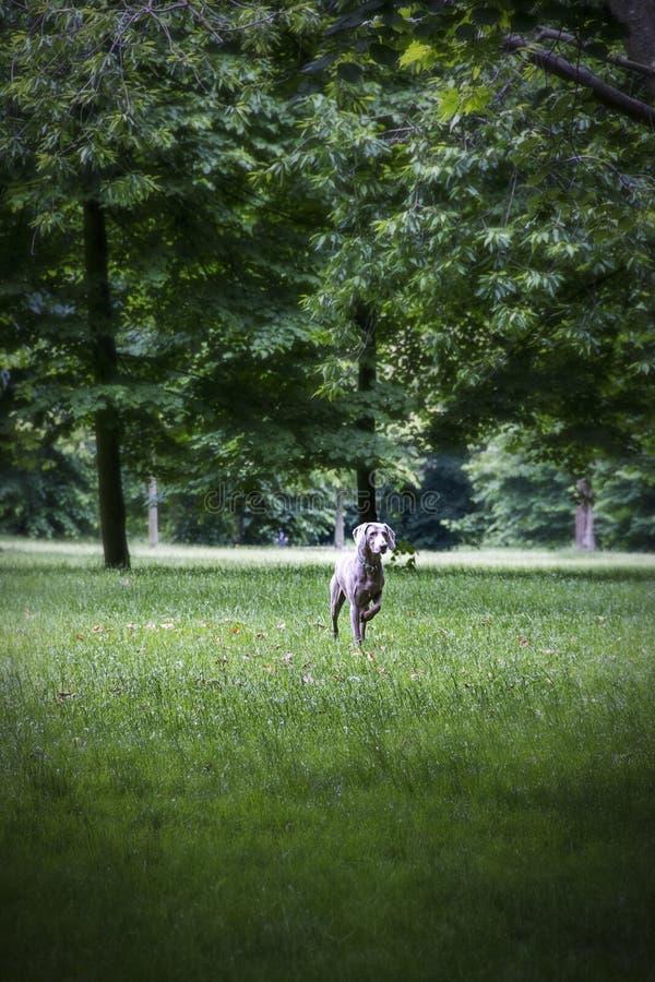 Cane grigio nel parco di Regent's a Londra Inghilterra fotografia stock