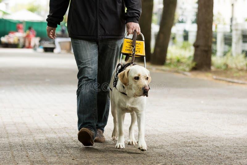 Cane guida che conduce un uomo cieco sul marciapiede fotografia stock