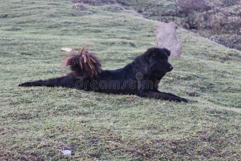 Cane himalayano indiano durante il trekking fotografia stock libera da diritti