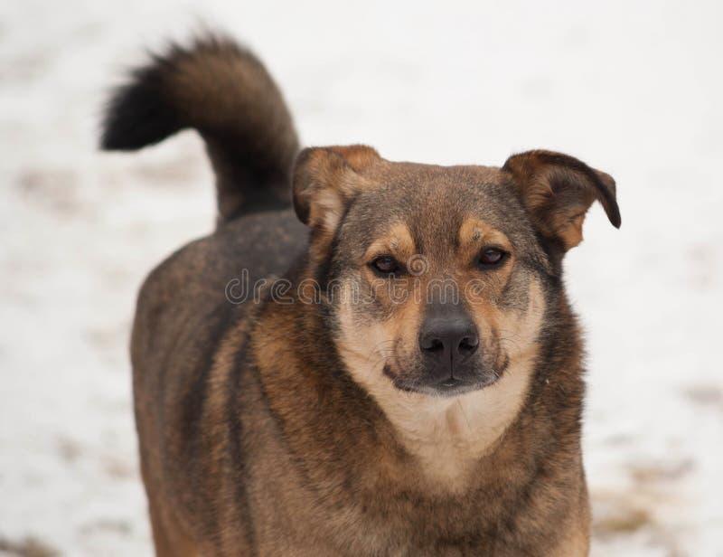 Cane ibrido di Brown che va sulla neve immagine stock
