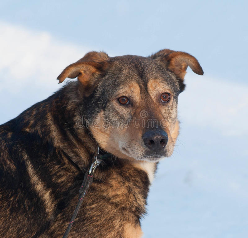 Cane ibrido di Brown in neve fotografia stock