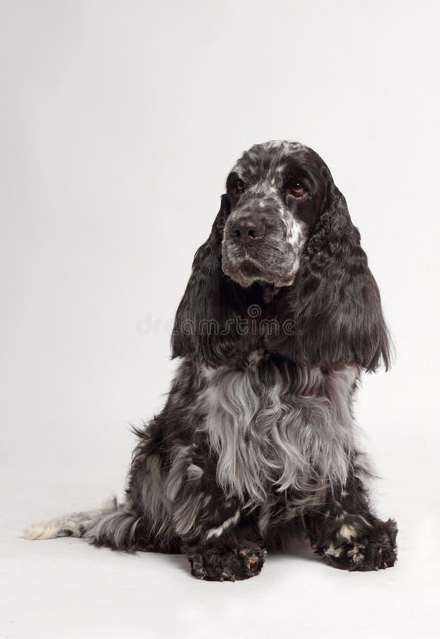 Cane inglese dello Spaniel di Cocker immagine stock libera da diritti
