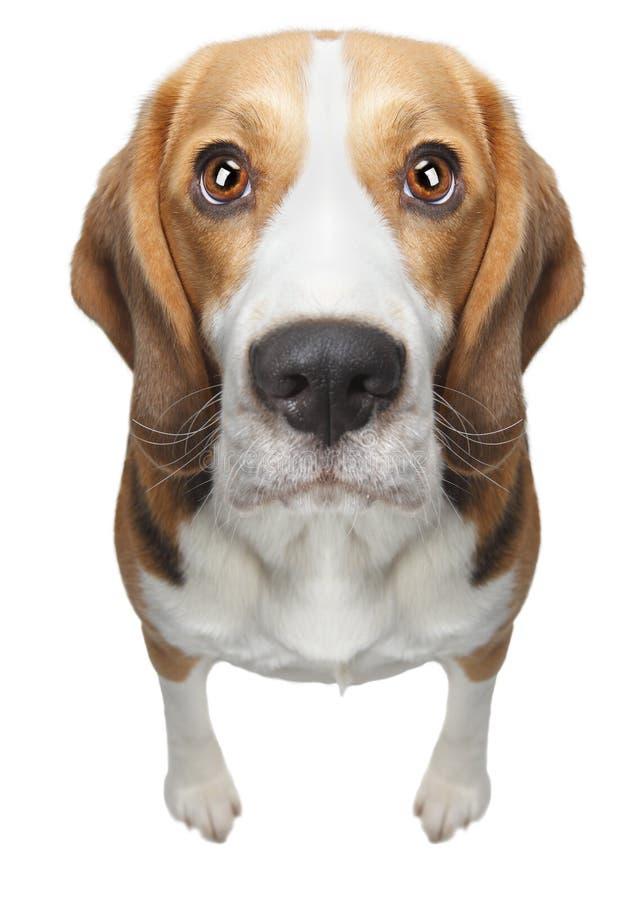 Cane isolato del cane da lepre immagini stock libere da diritti
