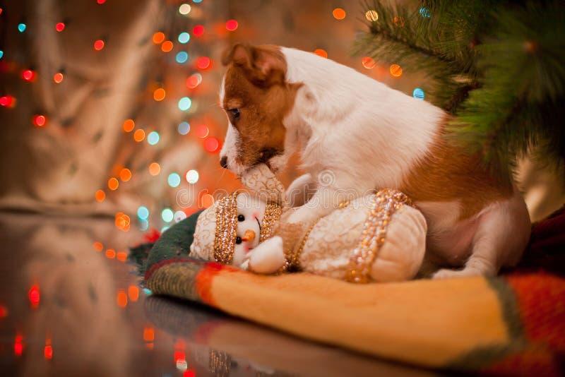 Cane Jack Russel Cucciolo Natale, immagine stock