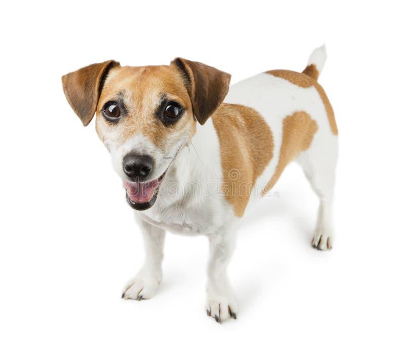 Cane Jack Russell Terrier nella piena crescita immagine stock libera da diritti