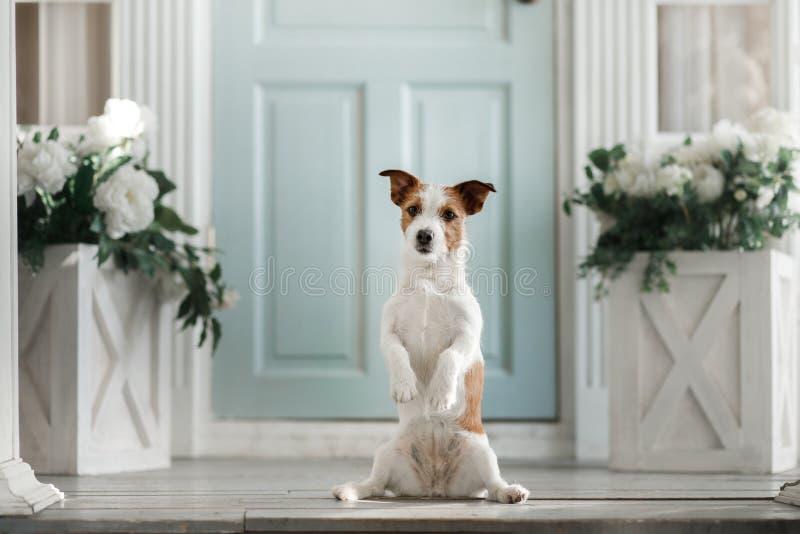 Cane Jack Russell Terrier sul portico immagini stock