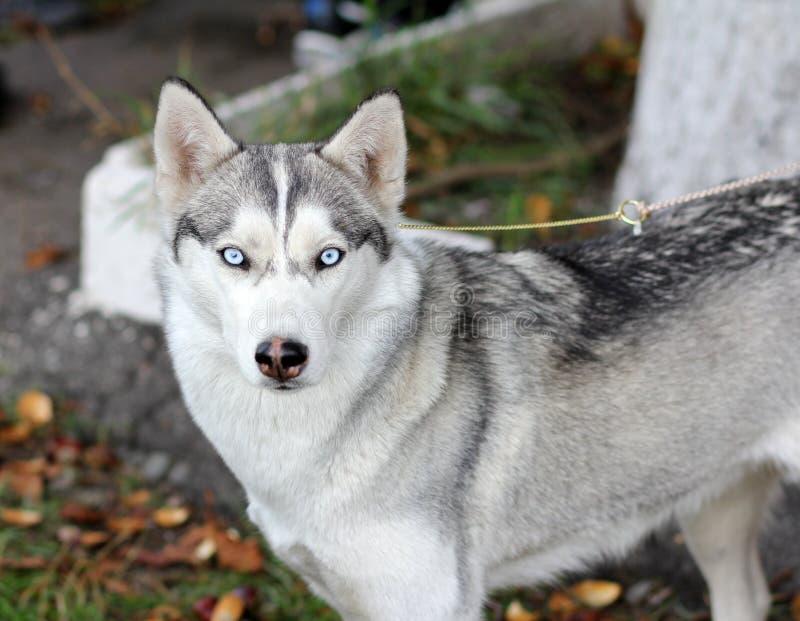 Cane Laika degli occhi azzurri fotografia stock libera da diritti