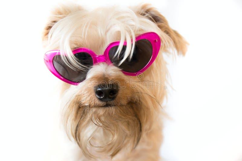 Cane lanuginoso con gli occhiali da sole fotografie stock