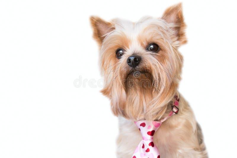 Cane lanuginoso con un legame dei cuori fotografia stock libera da diritti