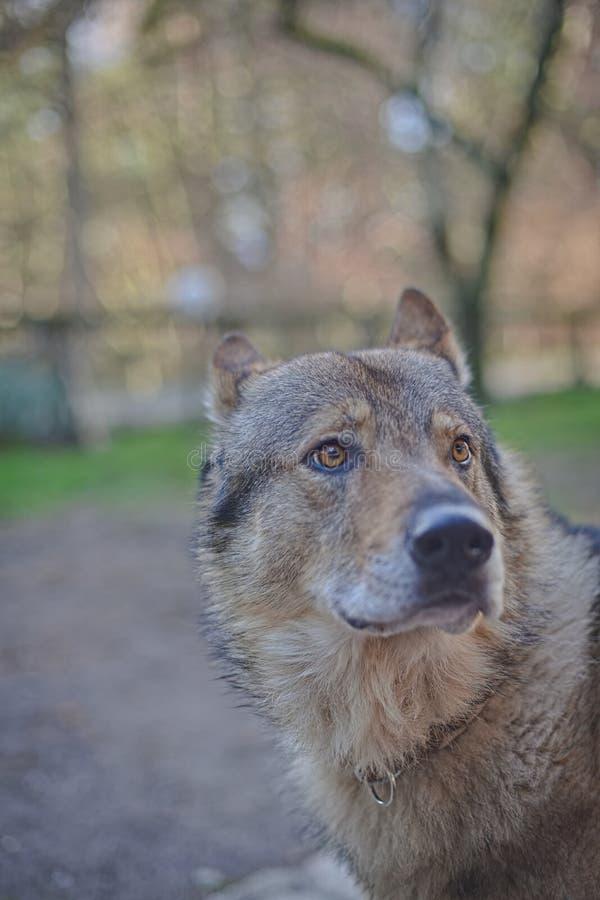 Cane lupo con ritratto del volto del collare con occhi con sguardo intenso immagine stock