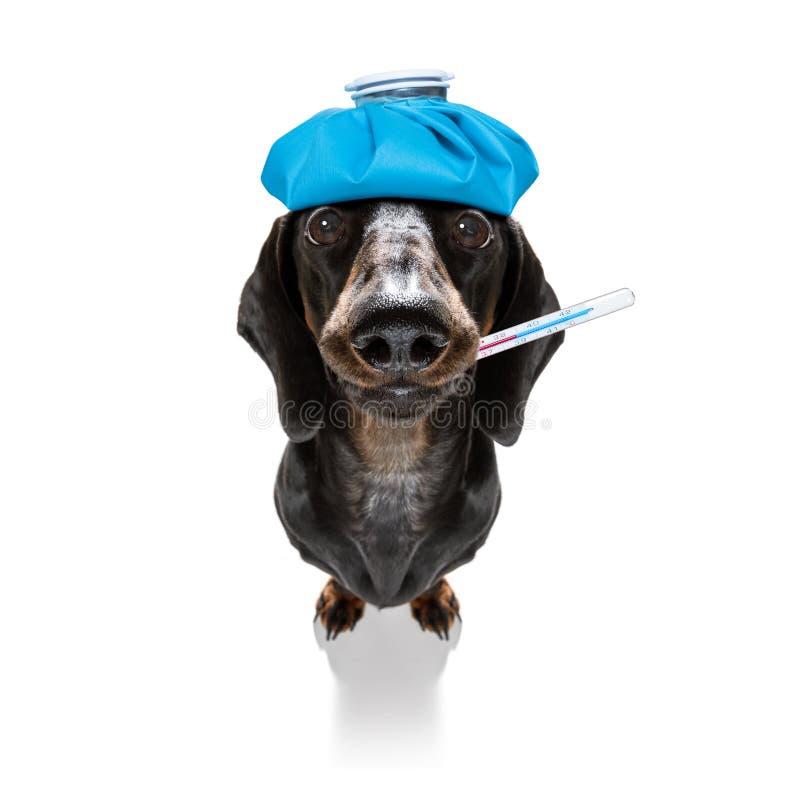 Cane malato malato con la malattia fotografia stock libera da diritti