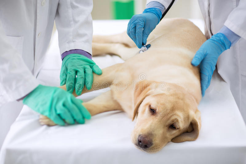 Cane malato d'esame fotografia stock