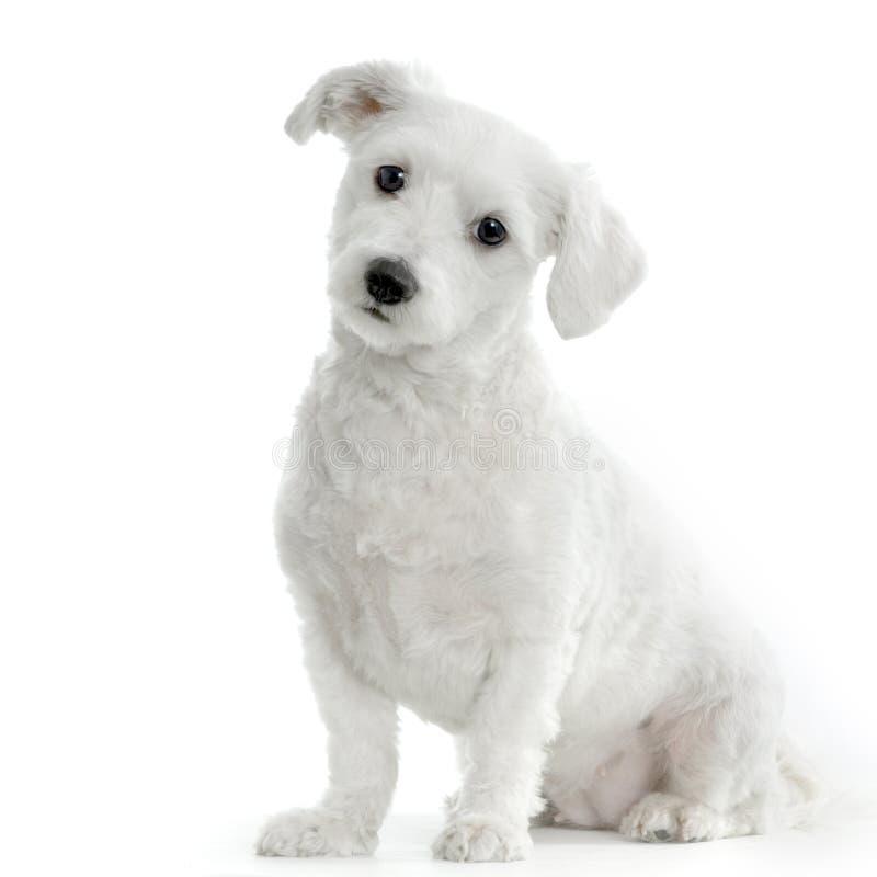 Cane maltese immagine stock immagine di razza adorable for Cane razza maltese