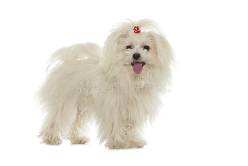 Download Cane maltese bianco fotografia stock. Immagine di piccolo - 56890728