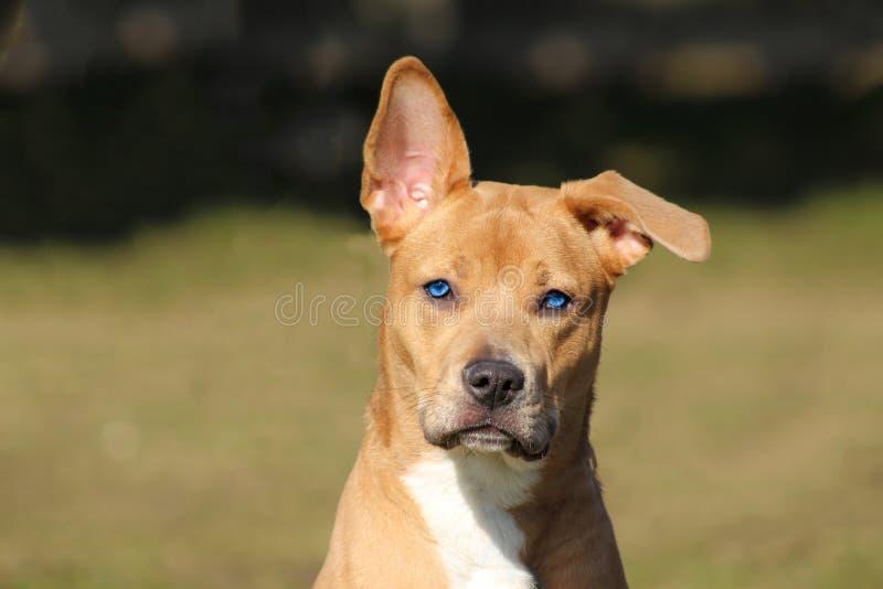 Cane marrone chiaro con uno sguardo attento ed allegro di bello blu con un orecchio giusto e una calata fotografia stock libera da diritti