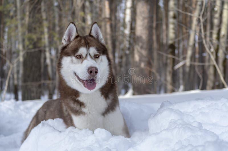 Cane marrone del husky siberiano del ritratto che si trova sul cumulo di neve nella foresta di inverno e che guarda in avanti Cop fotografie stock